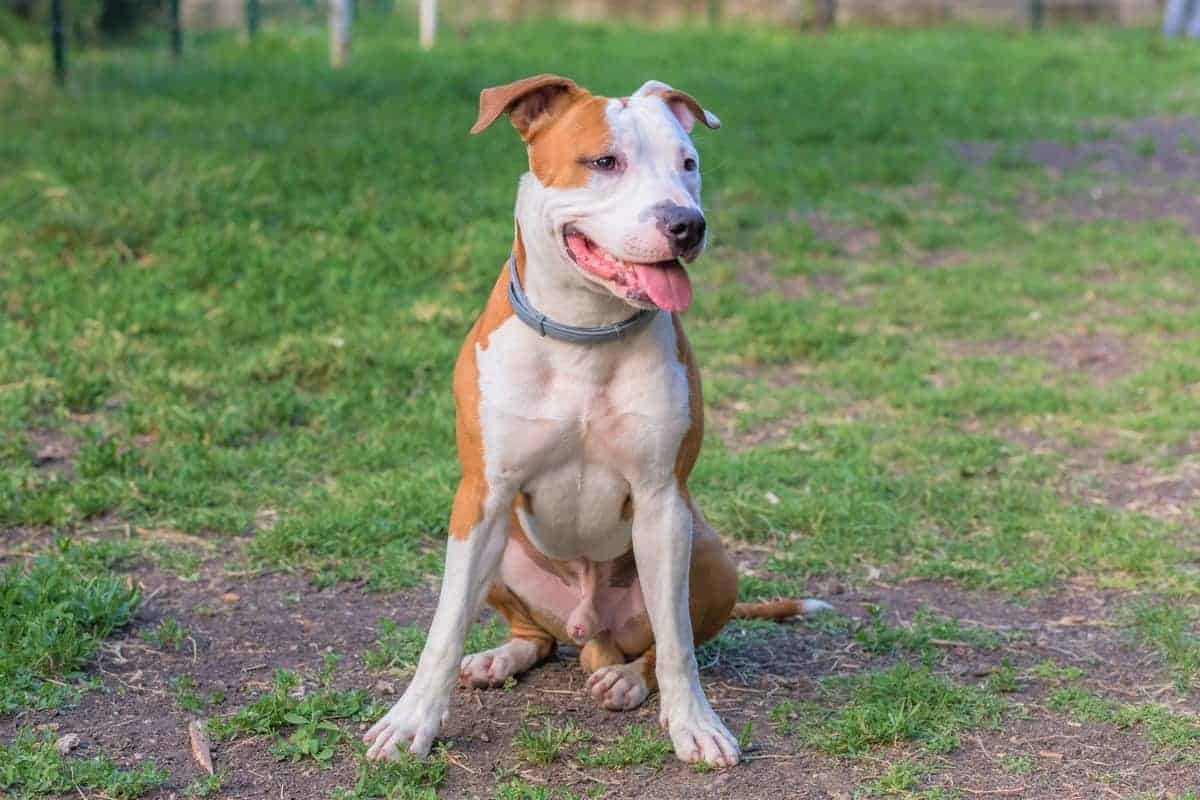 American Pit Bull Terrier outdoors