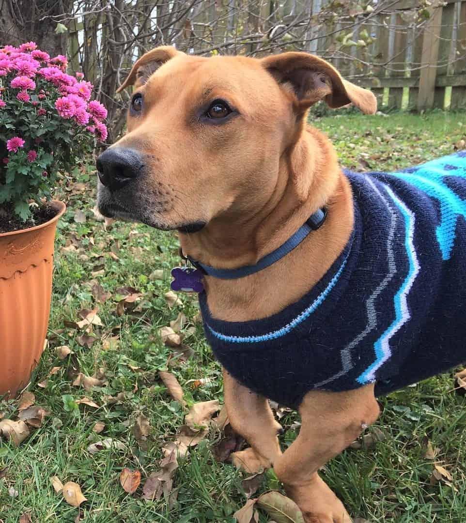 Basset Hound Pit Bull mix rescue dog