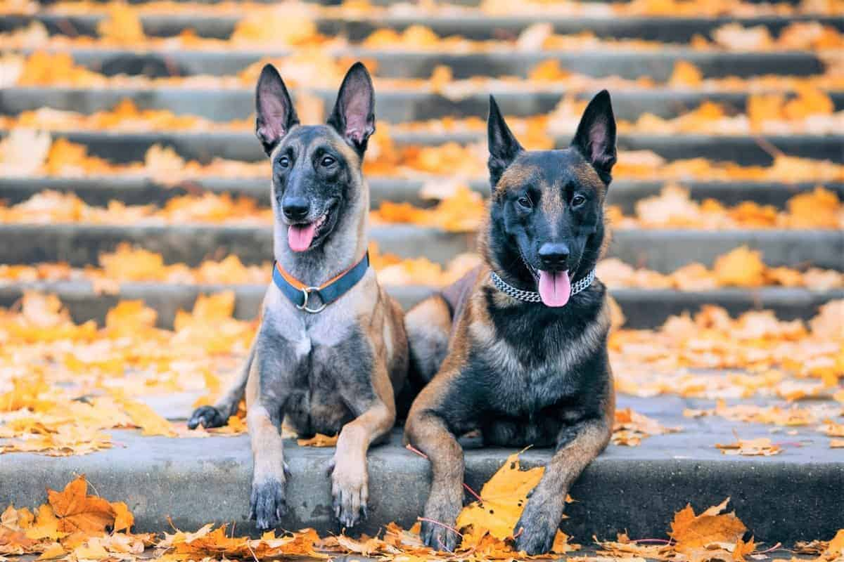 Belgian Malinois colors and patterns