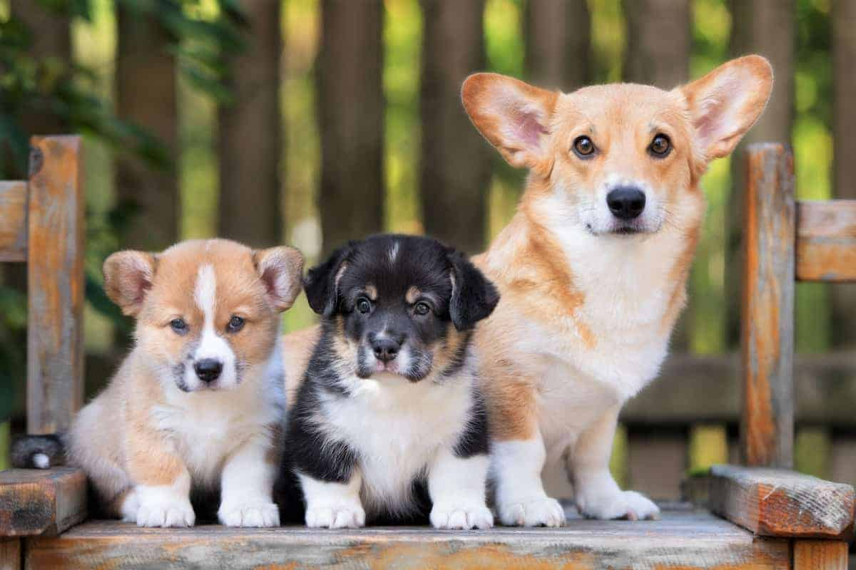 Best Corgi breeders places to find corgi puppies for sale