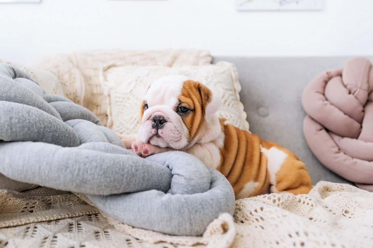 Best English Bulldog breeders places to find English Bulldog puppies for sale
