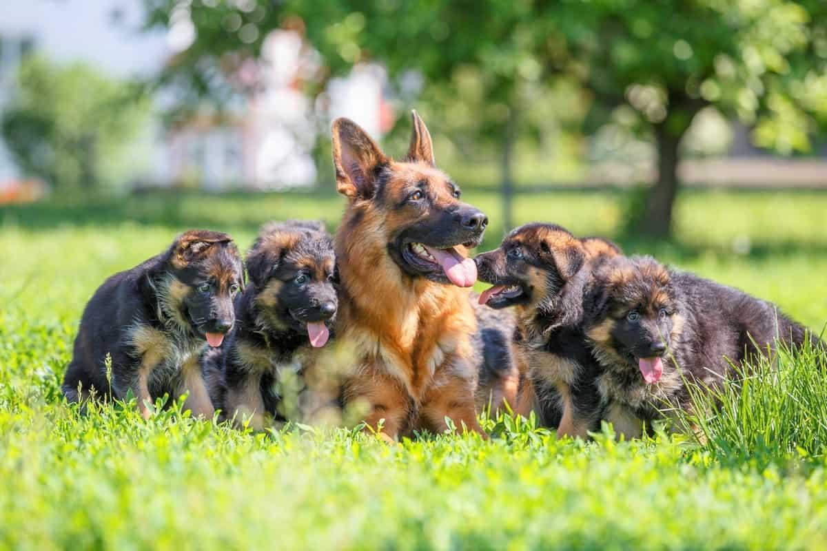 Best German Shepherd breeders places to find German Shepherd puppies for sale