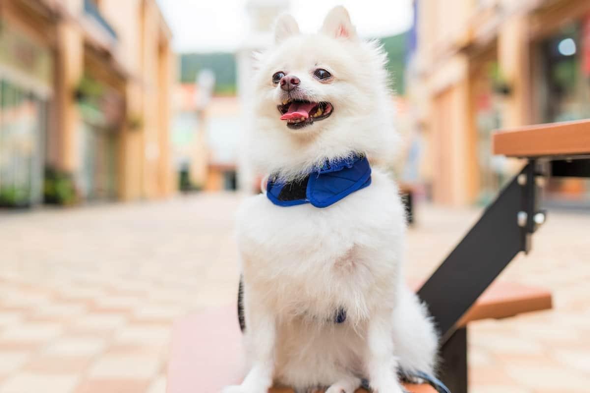 Best Pomeranian rescue for adoption