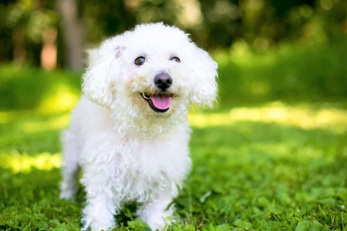 Bichon Frise colors and markings