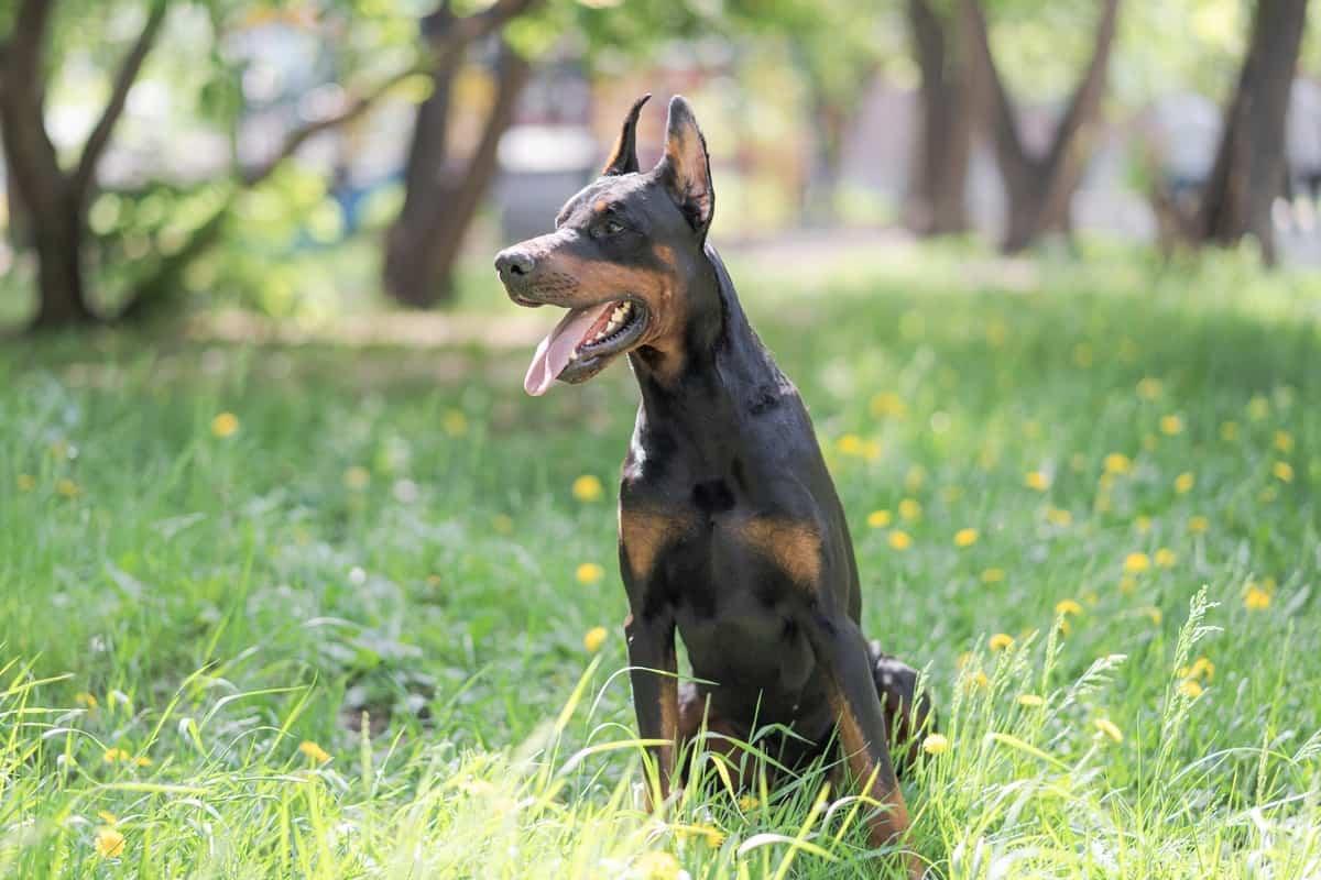 Blue Doberman Pinscher sitting on the grass