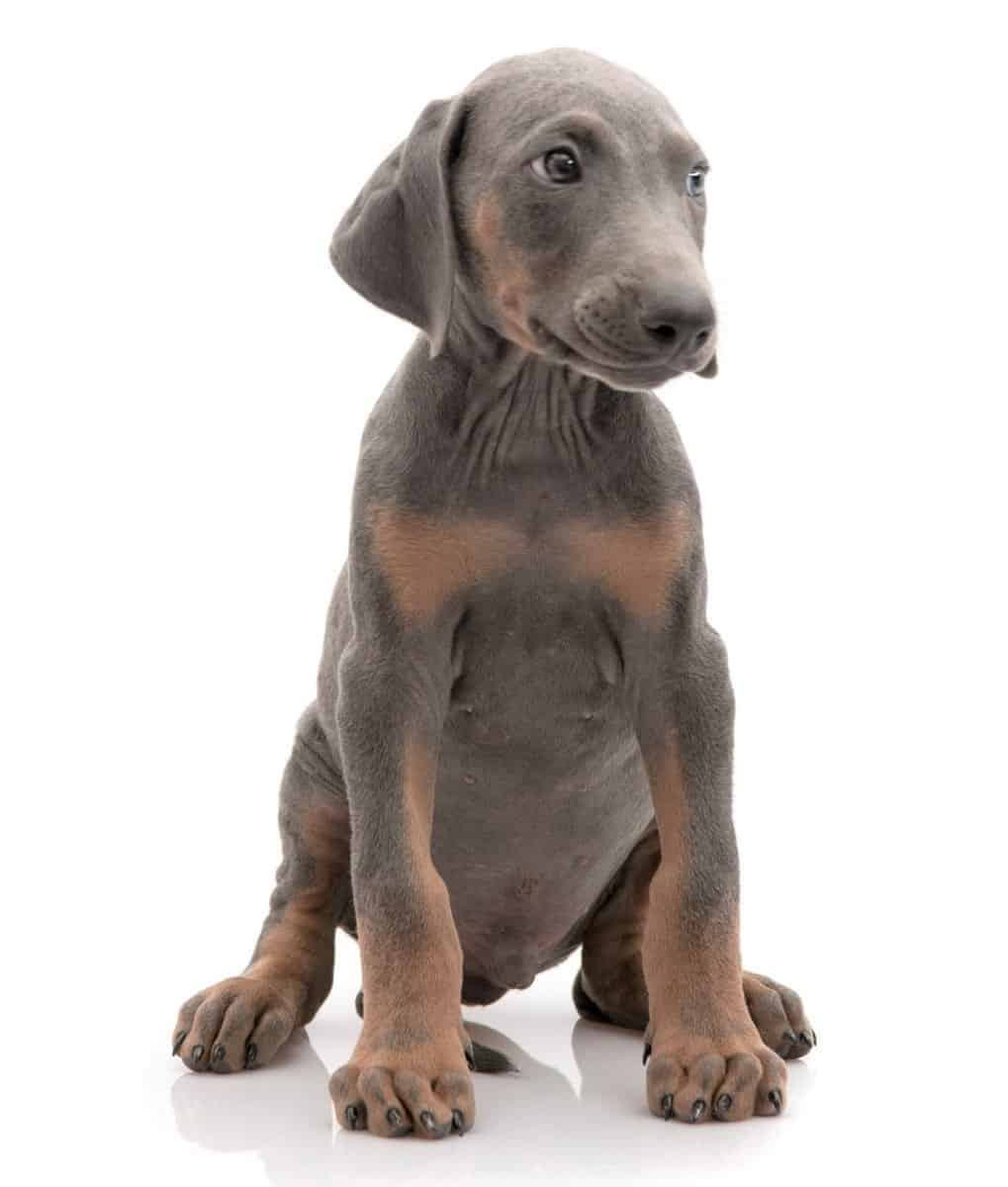 Blue Doberman puppy for sale