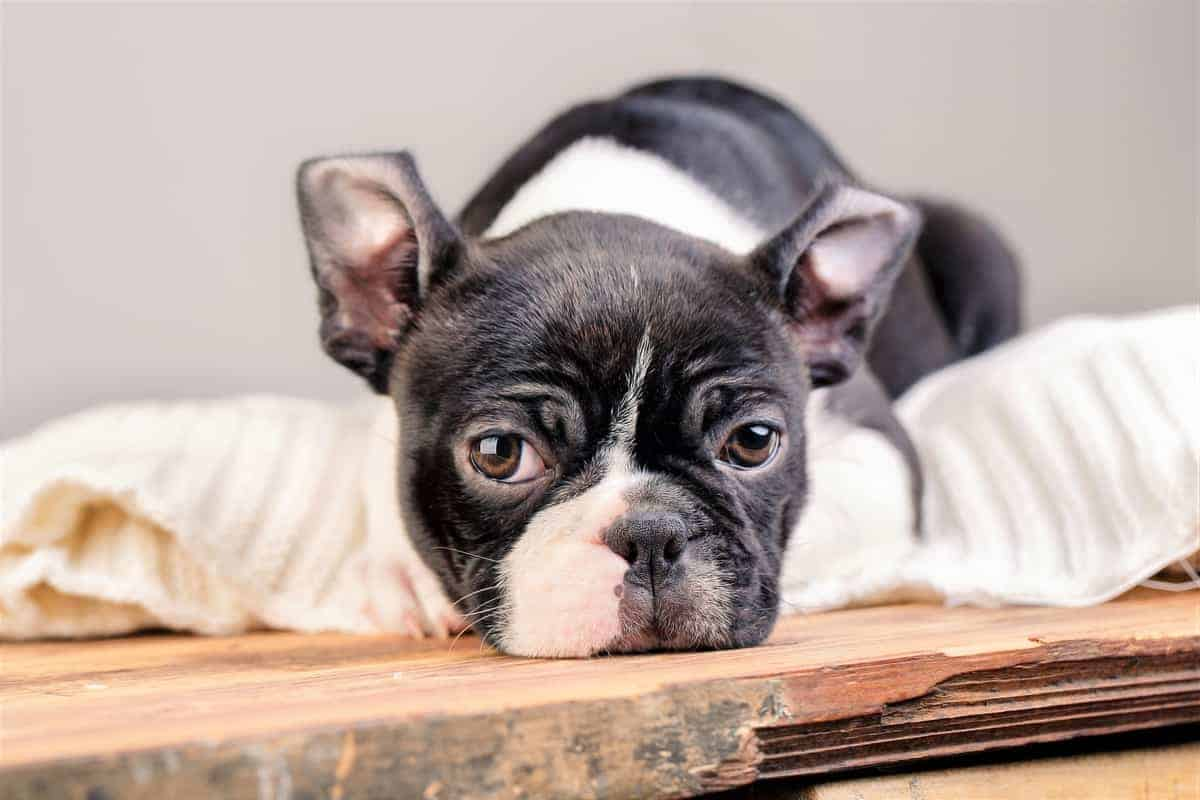 Boston Terrier puppy for sale from a reputable breeder