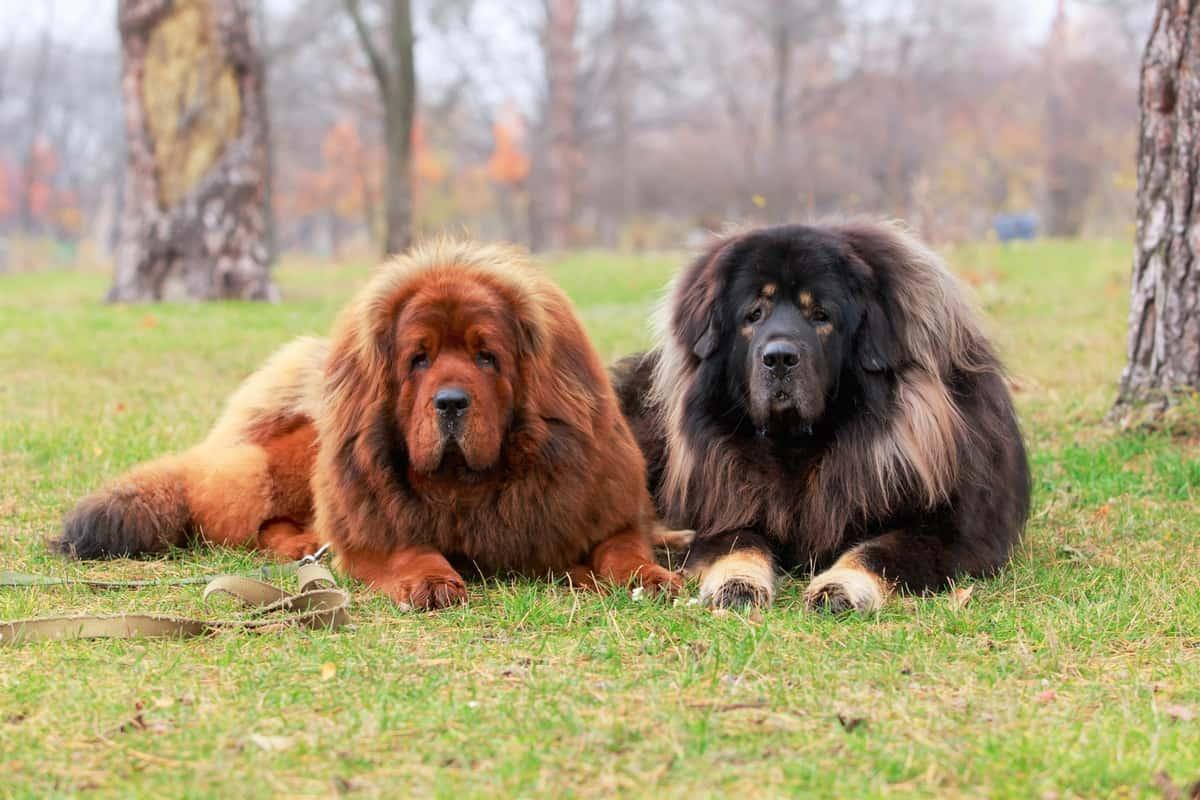 Brown female Tibetan Mastiff and a black male Tibetan Mastiff