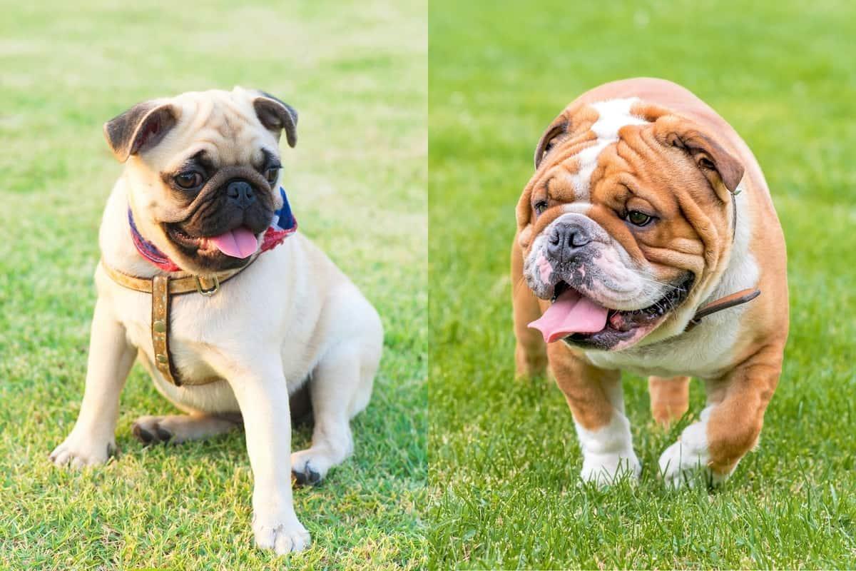Bull Pug English Bulldog Pug mix
