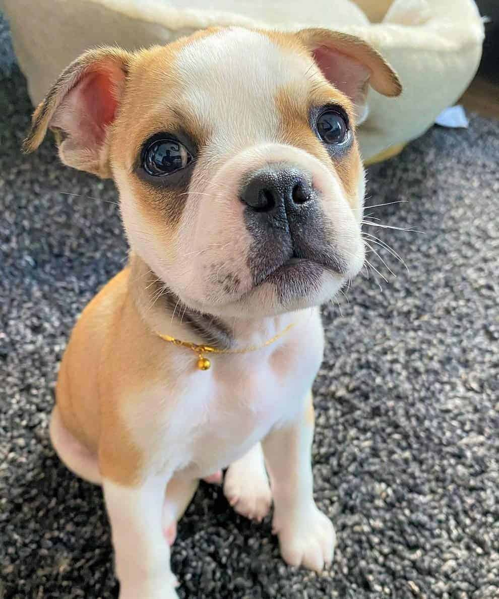 Bull Pug puppy price and expenses how much does a Bulldog Pug mix cost