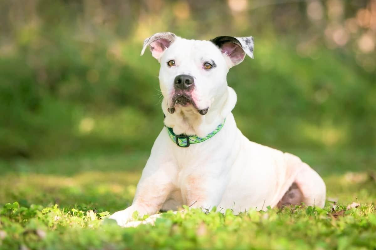 Bully Pit Bulldog Pitbull mix lying in the grass