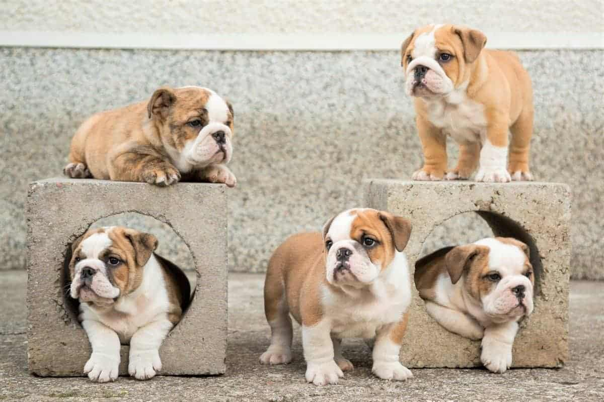 Cute English Bulldog puppies from an English Bulldog breeder
