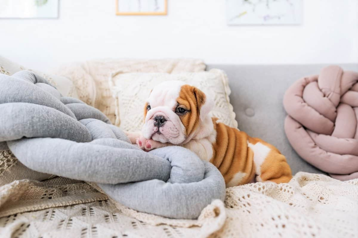 Cute teacup English Bulldog
