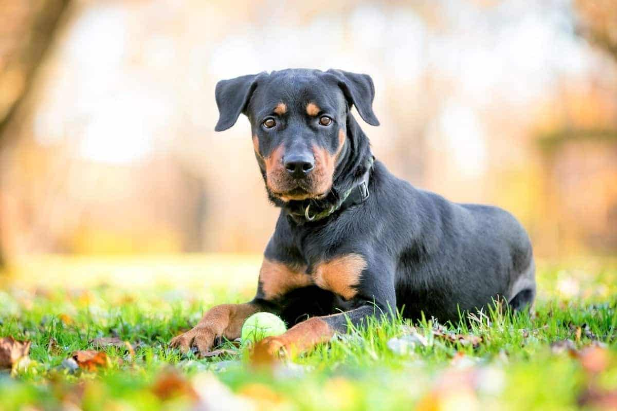 Dog mix that is similar to Australian Shepherd Rottweiler mix