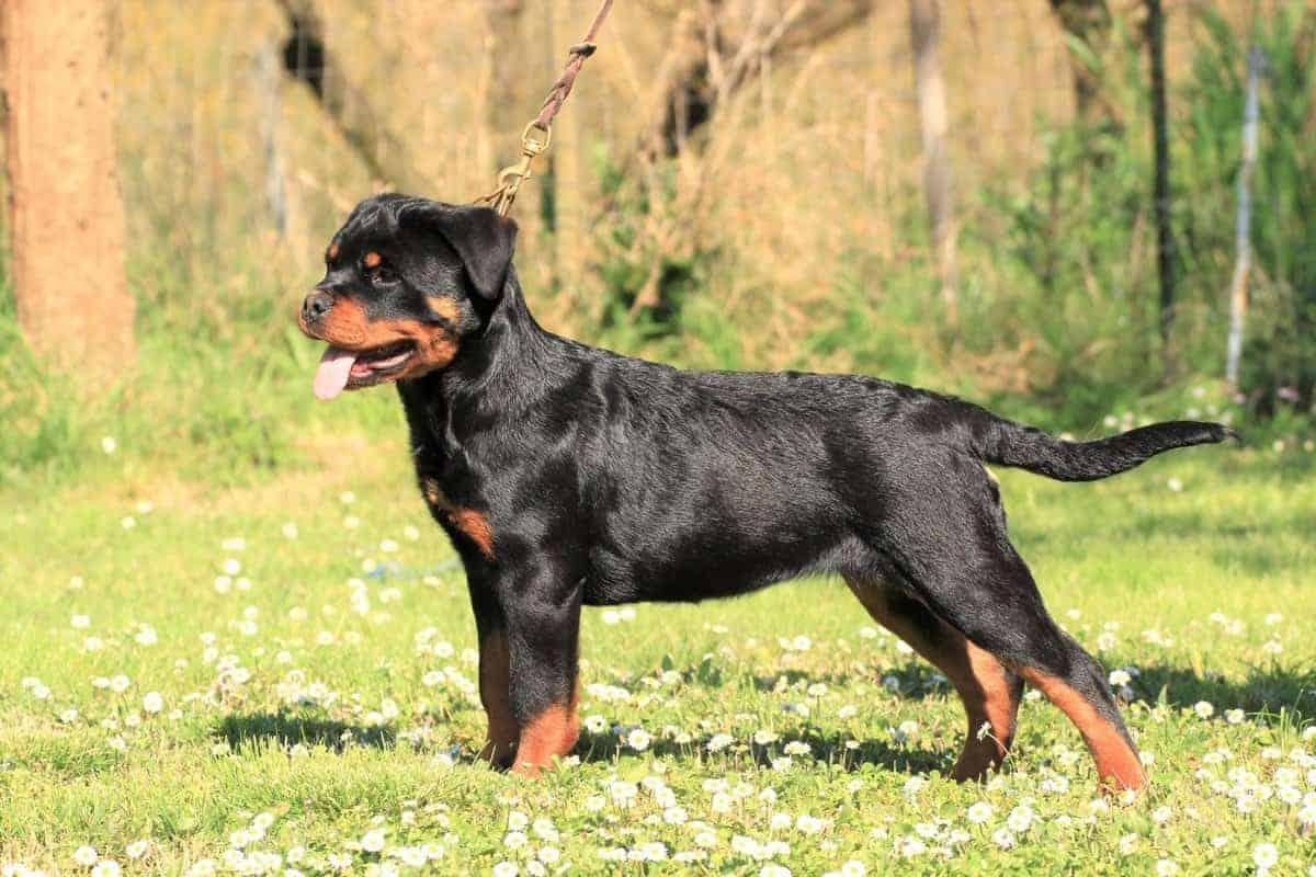 Fast growing young Rottweiler puppy