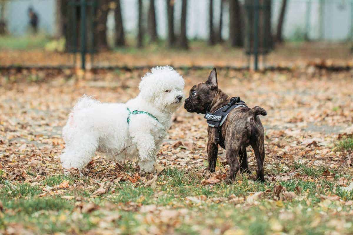 Female Bichon Frise playing with a dog at park