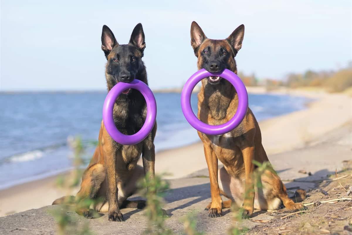 Female Belgian Malinois and male Belgian Malinois dogs sitting outdoors