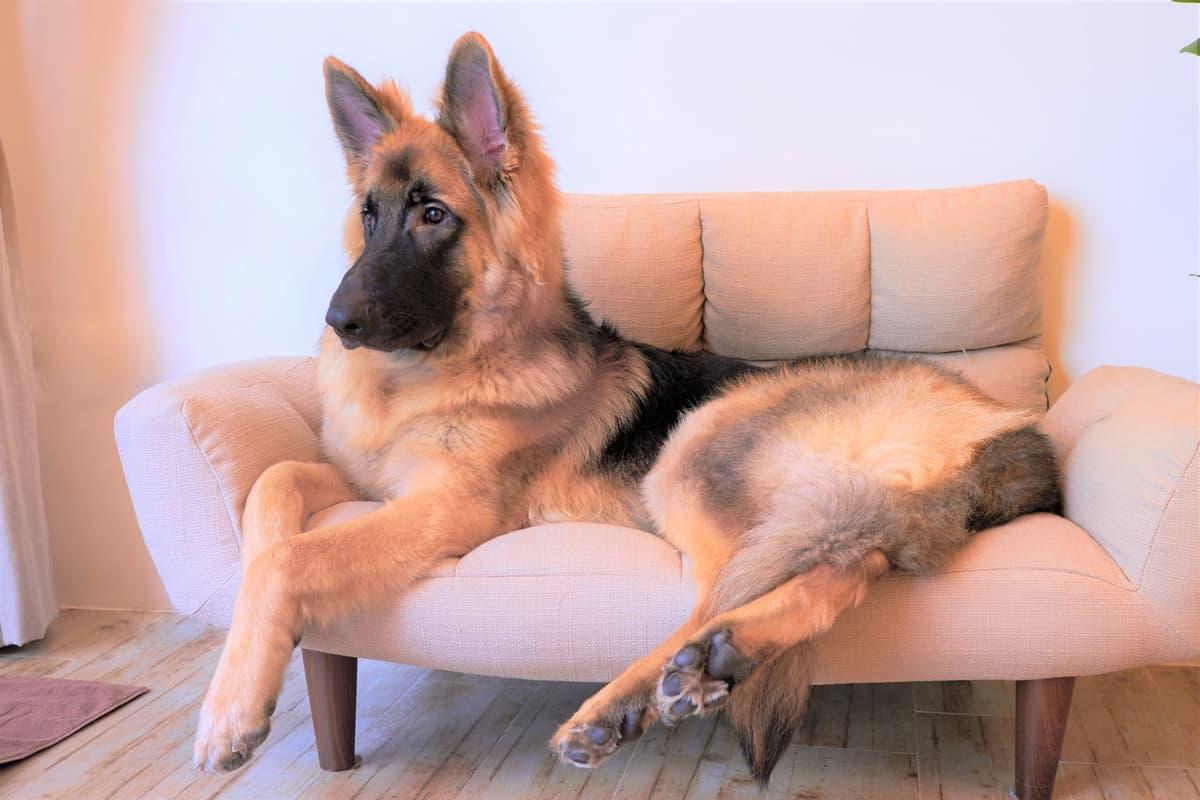 Giant German Shepherd lying on sofa