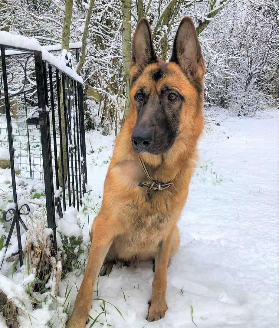 Giant German Shepherd or King Shepherd outdoors on thick snow