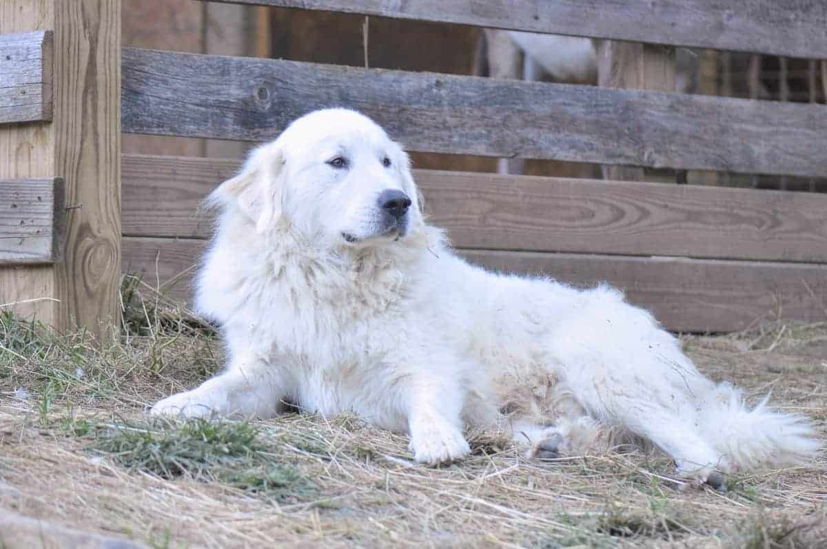 Great Pyrenees weight growth curve and average weights