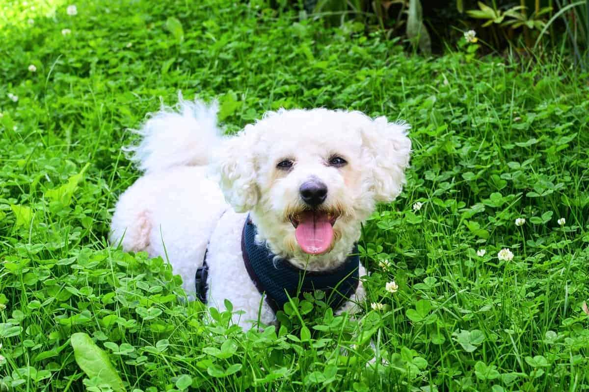 Happy white and apricot Bichon Frise in the garden