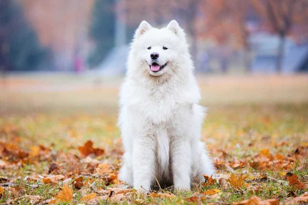 Ideal weight Samoyed dog in autumn park