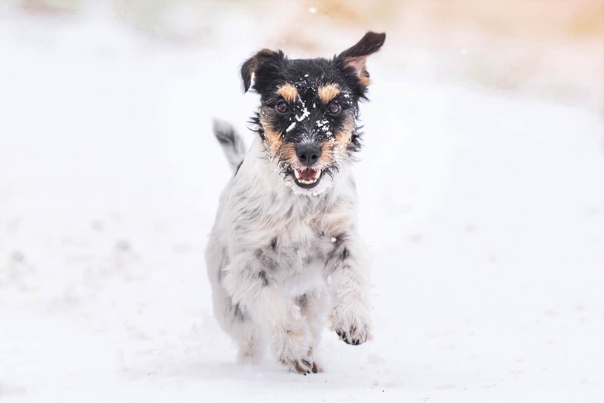Little Long-haired Jack Russell Terrier runs fast in the snow