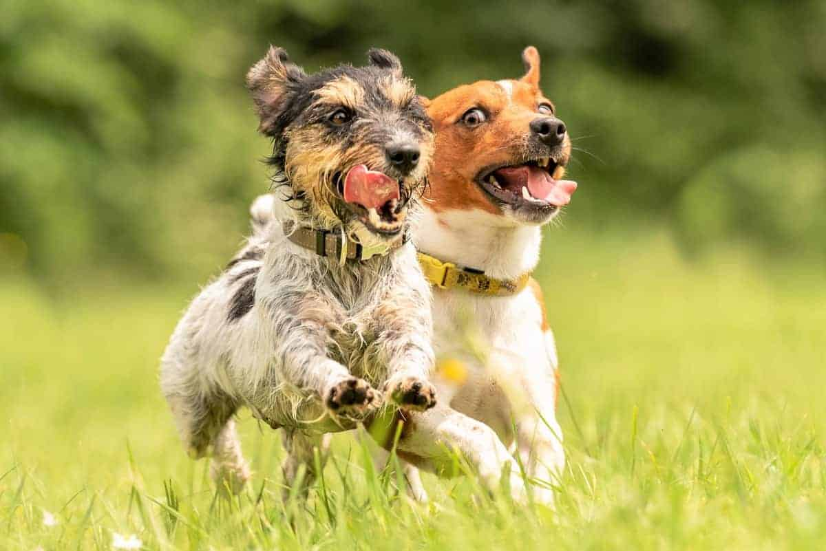 Long-haired Jack Russell Terrier and a short haired Jack Russell running together