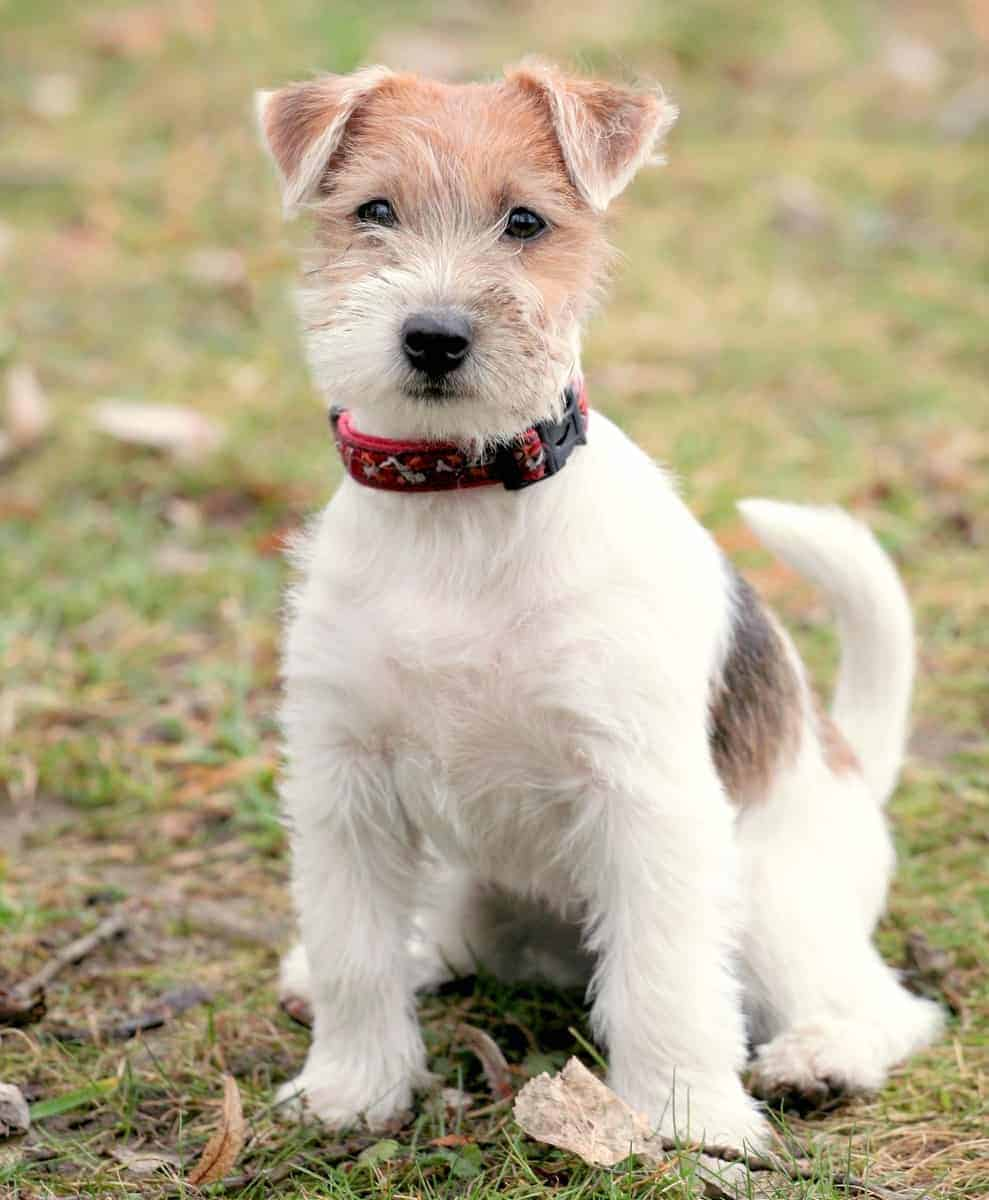 Long-haired Jack Russell Terrier puppy for sale