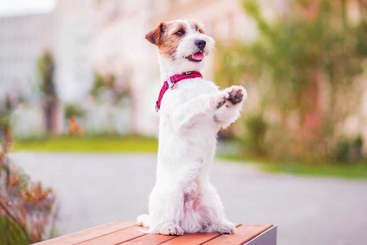 Long-haired Jack Russell Terrier puppy standing up