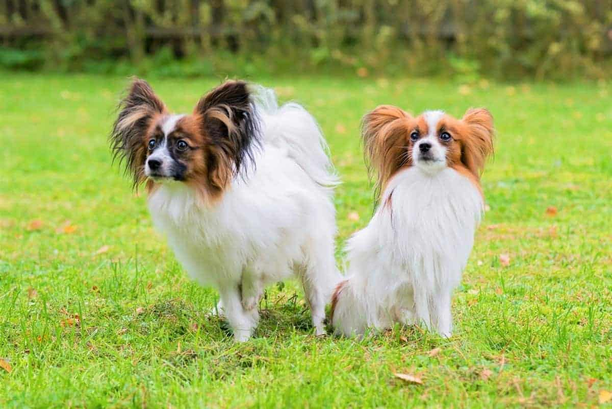 Male Papillon and female Papillon outdoors