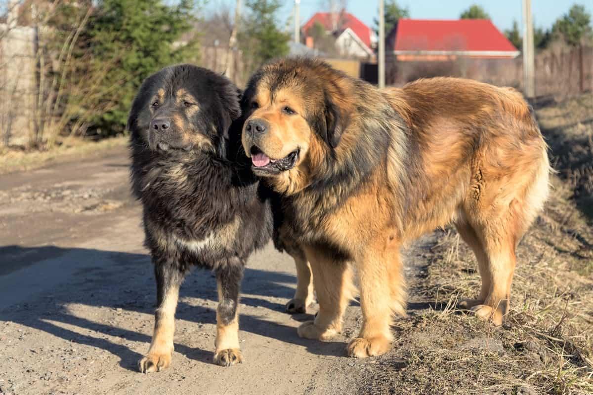 Male Tibetan Mastiff and female Tibetan Mastiff walking together outdoor