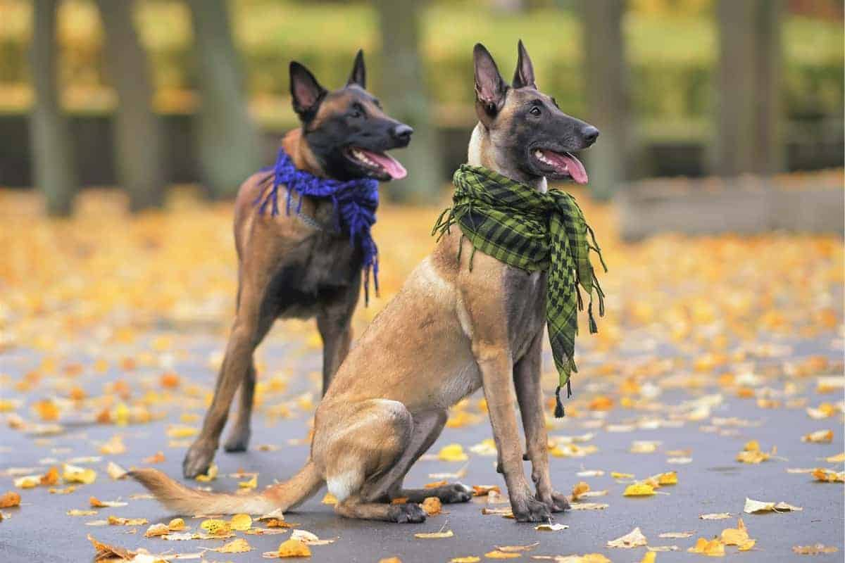 Male and Female Belgian Malinois dogs posing outdoors