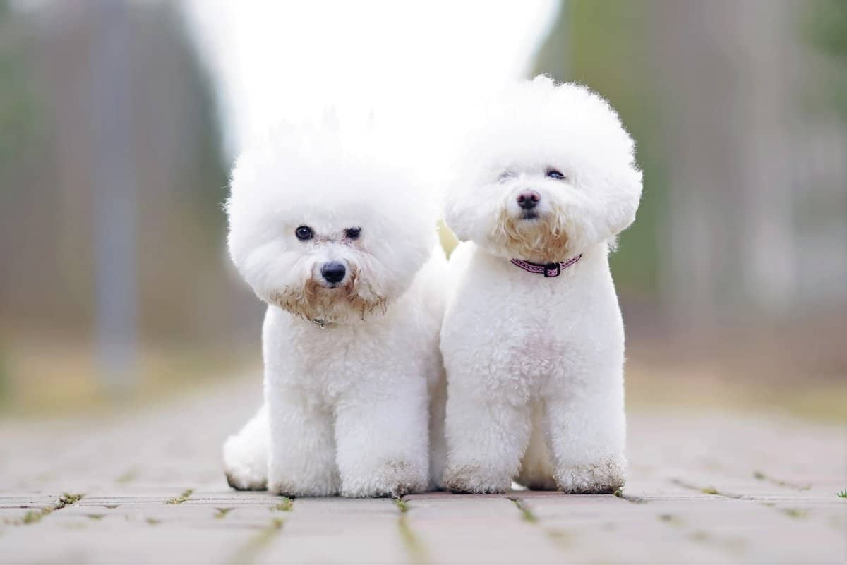 Male and female Bichon Frise appearance differences