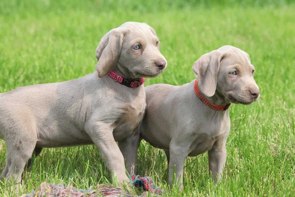 Male and female Weimaraner puppies