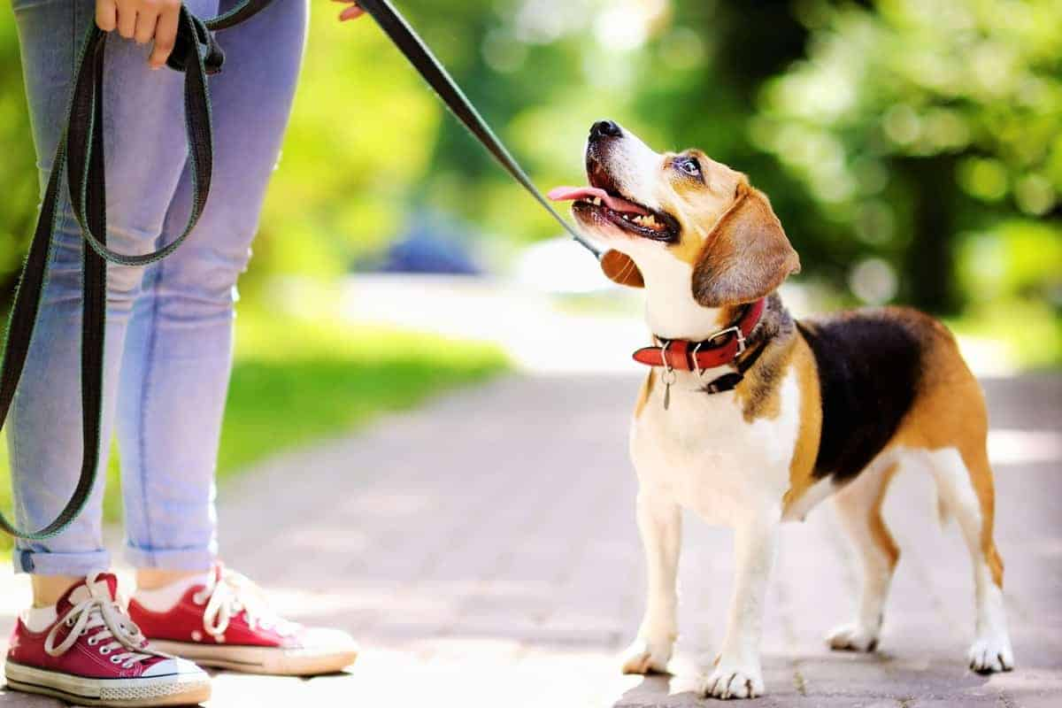 Obedient rescue Beagle dog with his owner