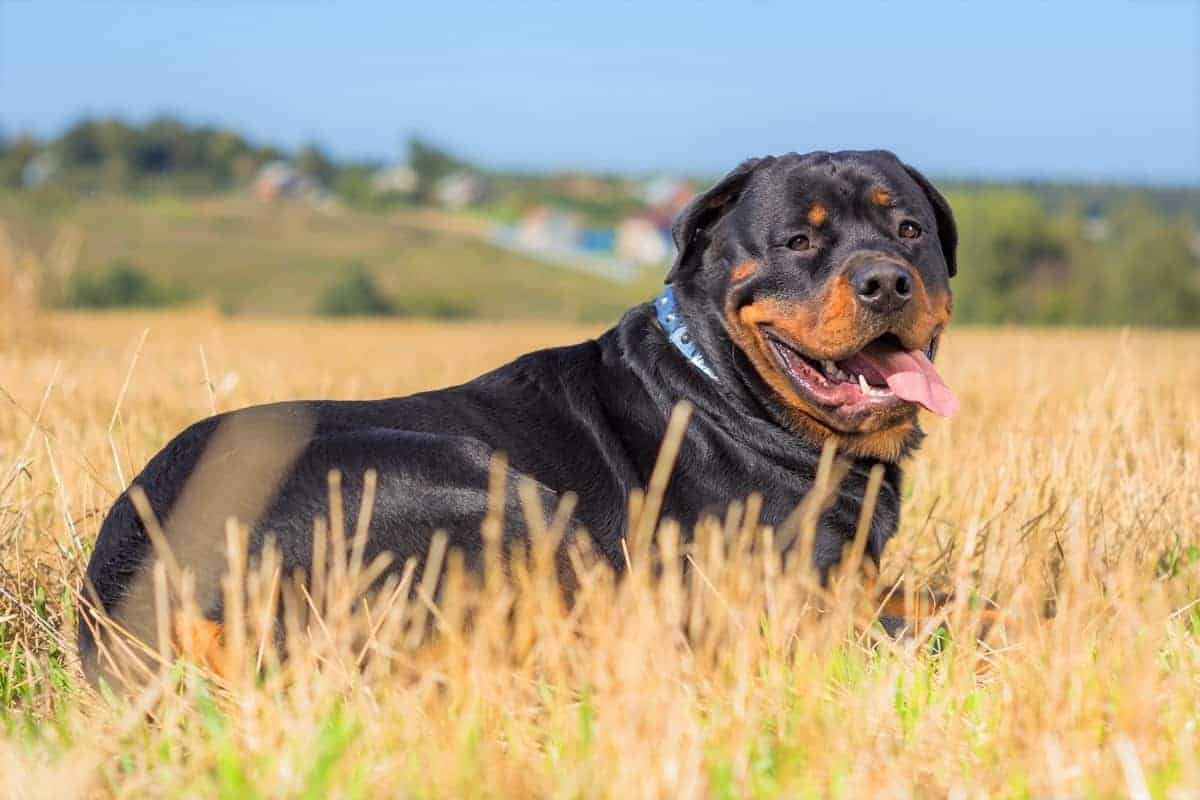Obese and overweight Rottweiler