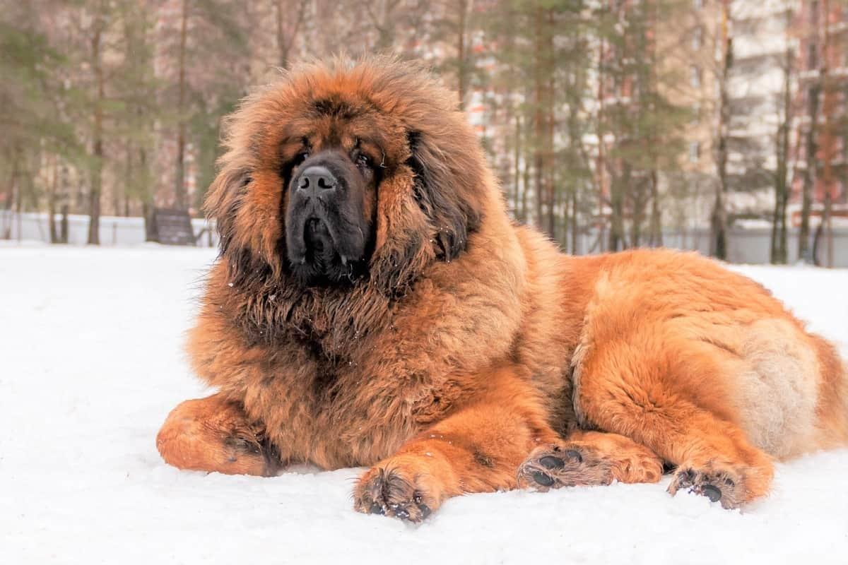 Obese and overweight Tibetan Mastiff