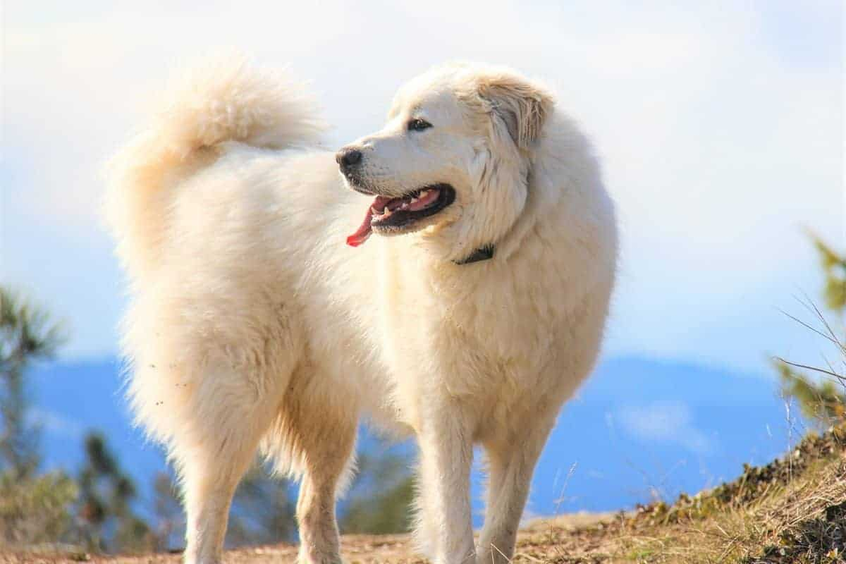 Overweight Great Pyrenees or underweight Great Pyrenees
