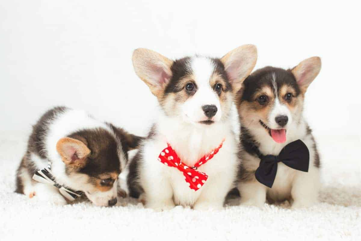 Pembroke Welsh Corgi puppies for sale with bow tie
