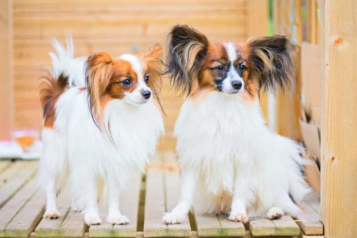 Portrait of male and female Papillon dogs