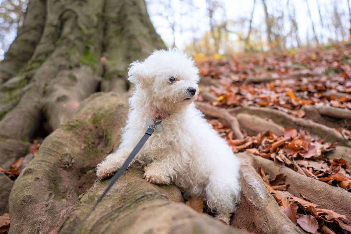 Pure white Bichon frise color without marking
