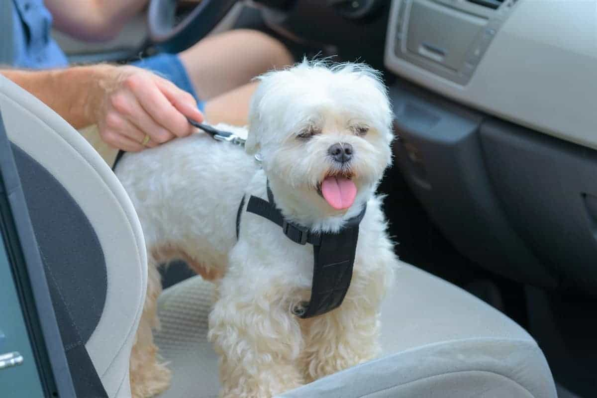 Rescue Maltese traveling in a car