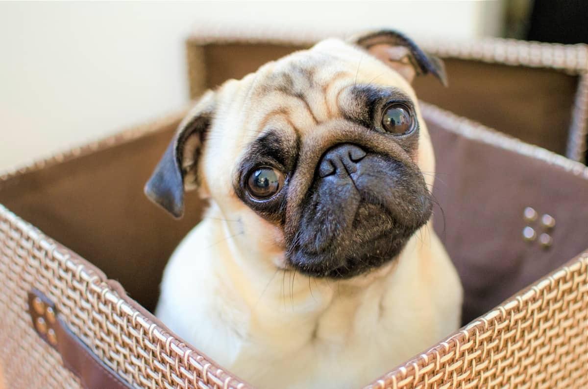 Rescue Pug puppy hiding in the brown box
