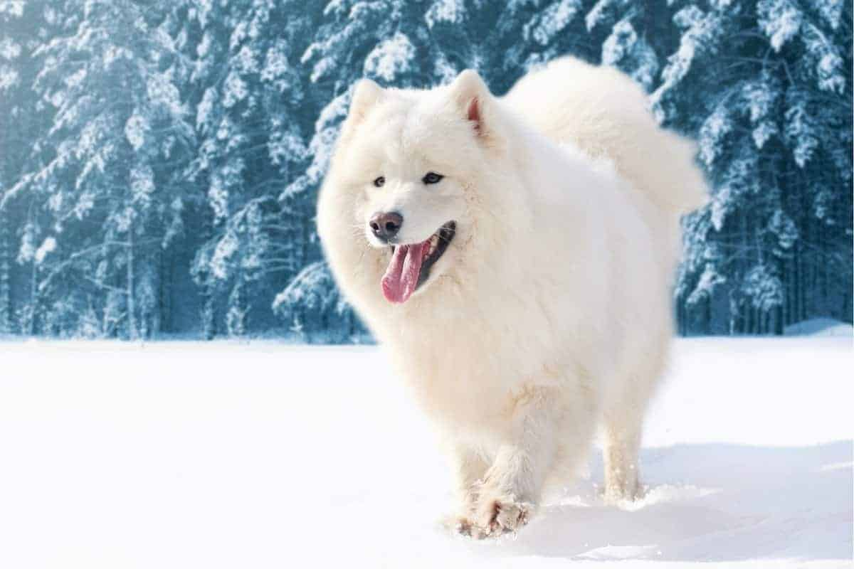 Samoyed weight how much does a Samoyed weigh
