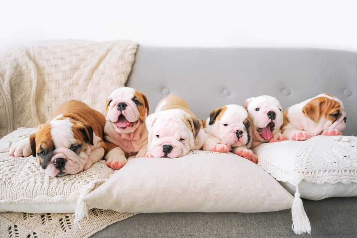 Teacup Bulldog puppies for sale