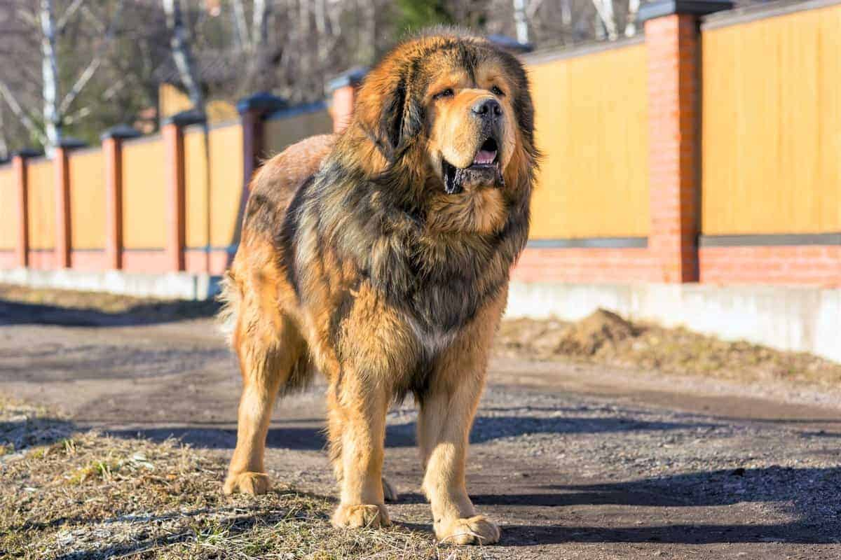 Tibetan Mastiff with ideal weight standing on the street