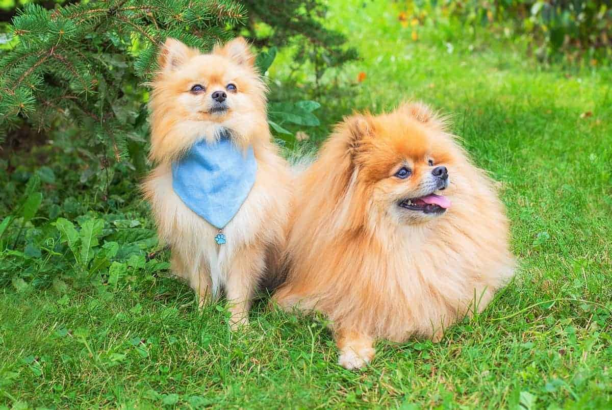 Two adopted Pomeranians sitting on green grass