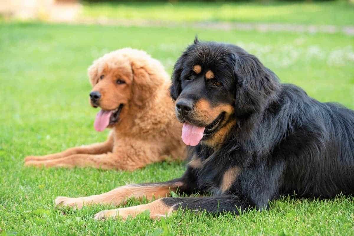 Two large beautiful Tibetan Mastiff of different genders lie on a green lawn
