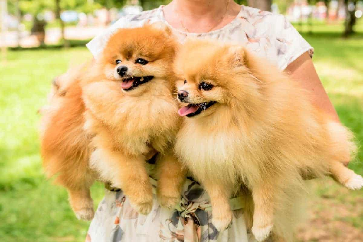 Two rescue Pomeranian dogs at the park
